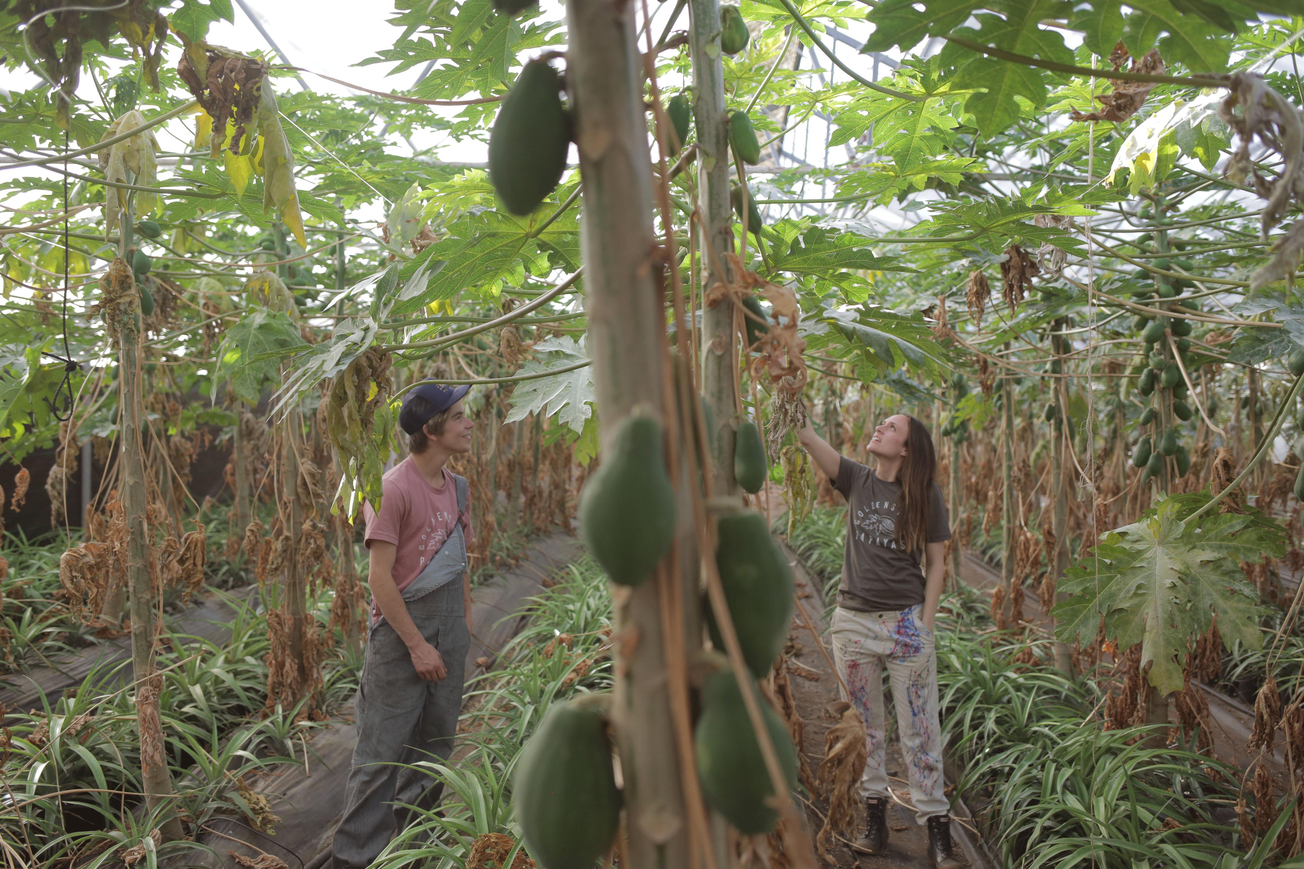 papaya-rows1