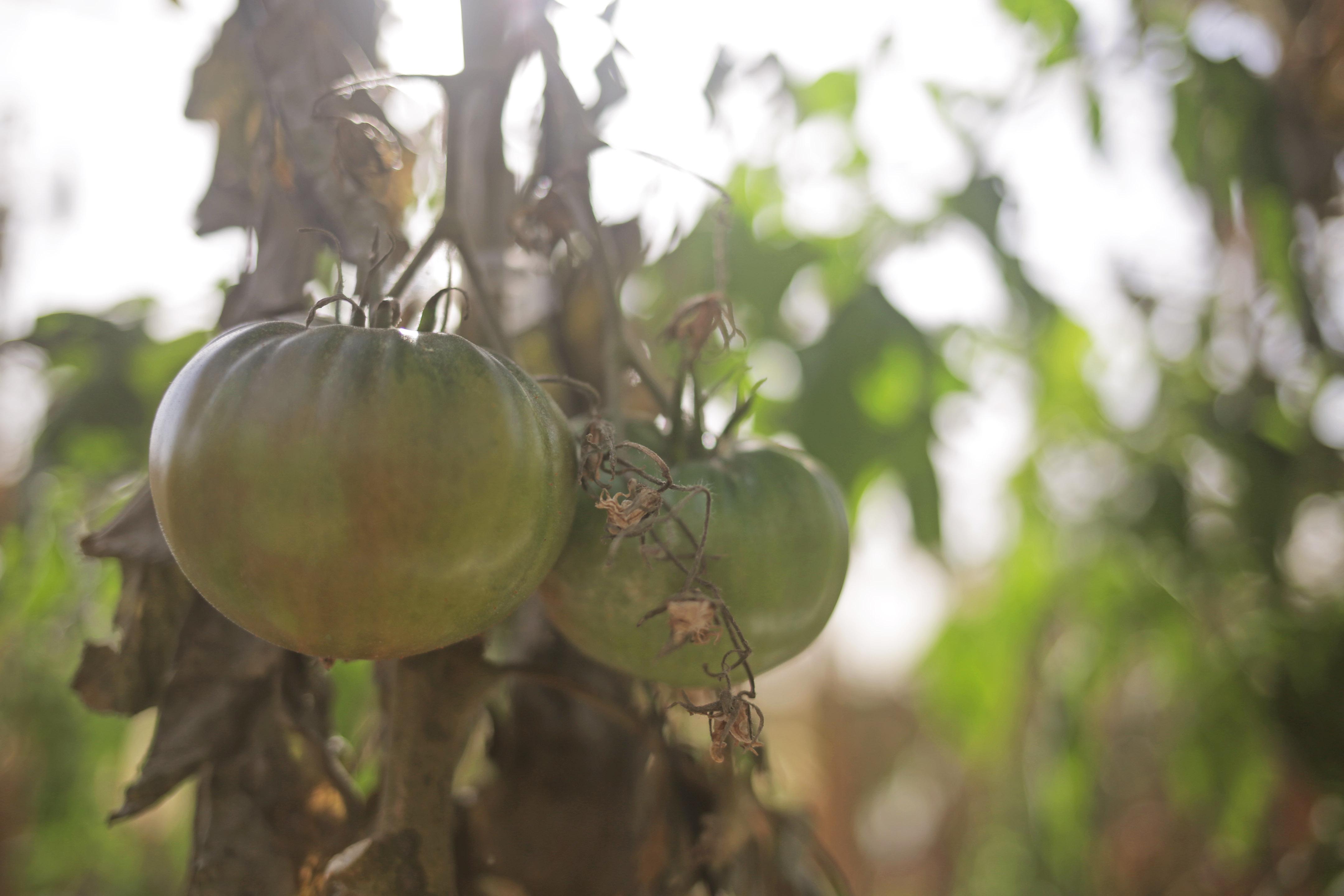 tomato-vine